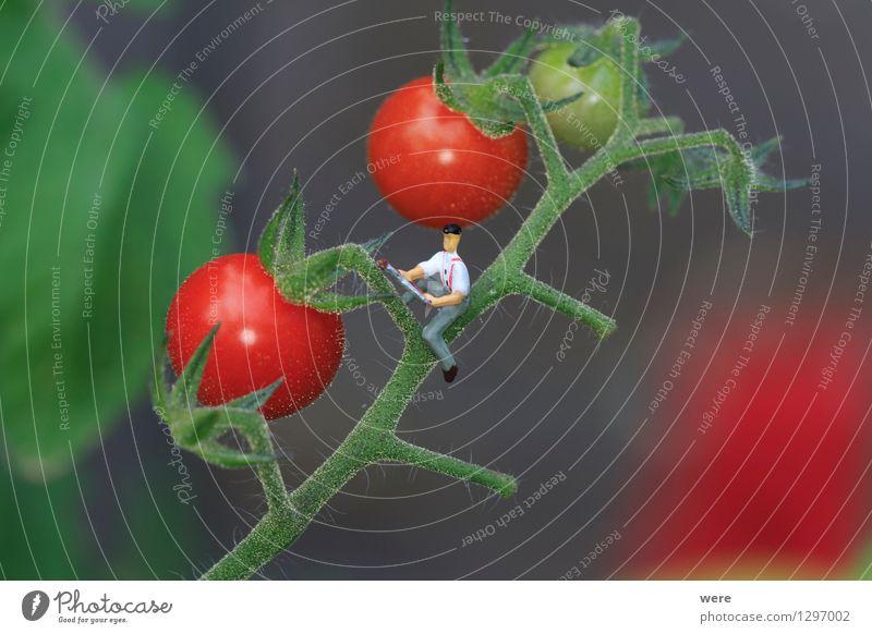 Tomatenernte 3 Mensch Natur Pflanze Architektur klein Garten Landwirtschaft Bauernhof Ernte Schrebergarten Umweltschutz Forstwirtschaft Gartenbau Miniatur