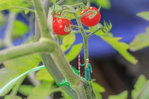 Tomatenernte 2 Mensch Natur Pflanze Architektur klein Garten Landwirtschaft Bauernhof Ernte Schrebergarten Umweltschutz Forstwirtschaft Gartenbau Miniatur