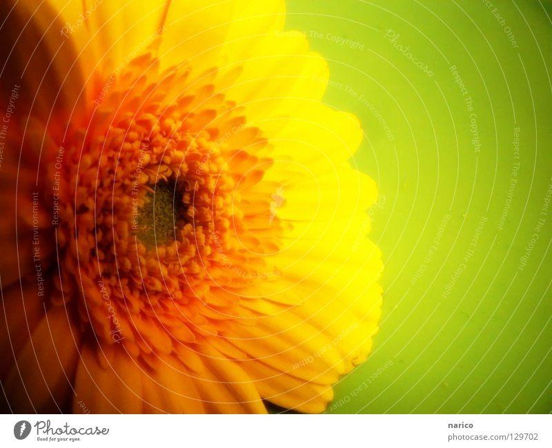 ..gelb..grün..Frühling! mehrfarbig Licht Schatten Freude Leben Sommer Pflanze Blume Blüte dunkel frisch hell weich Farbe Gerbera Würzburg gelbe Blume narico