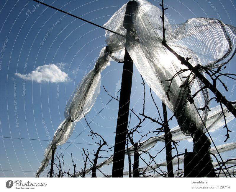 vernetzte Bäume Himmel blau weiß Baum Sonne Wolken Netz Ast Draht Stab Apfelbaum Plantage Apfelplantage