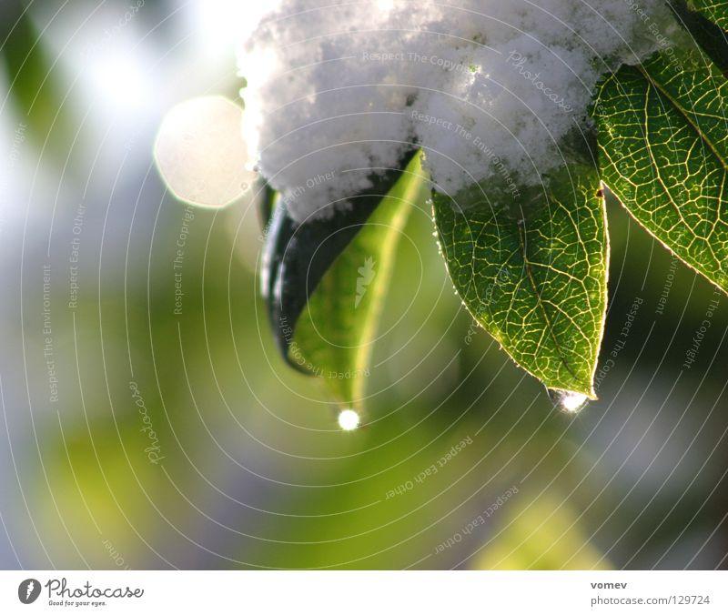 Wein-Blätter Wasser weiß grün Winter Blatt Schnee Wassertropfen weinen