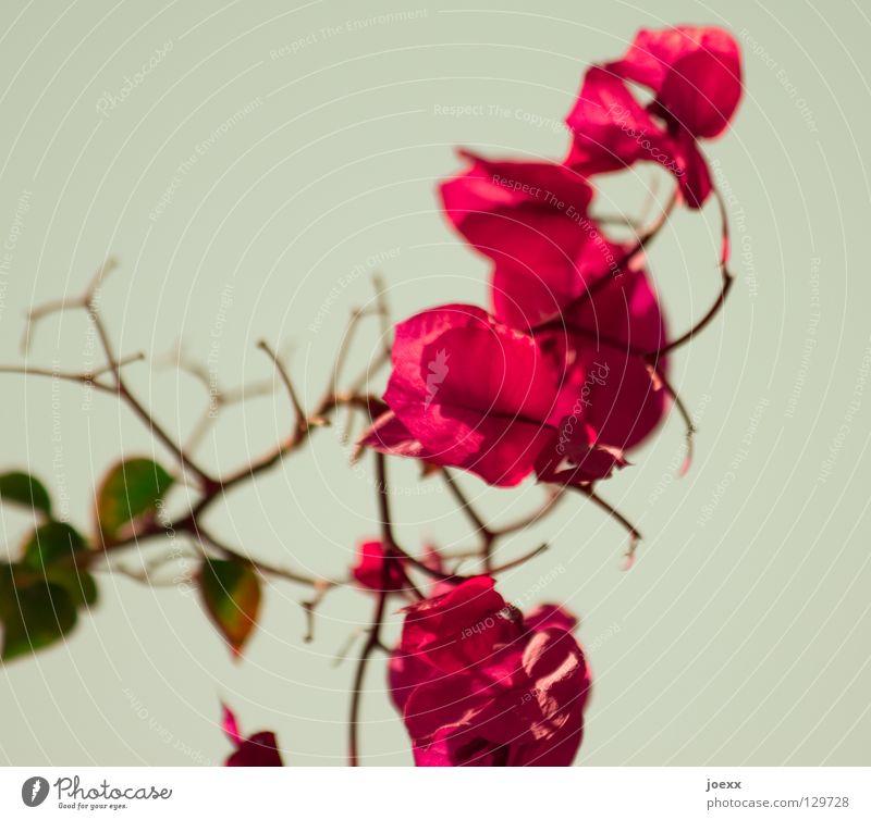 Frühlings-Blüten grün schön Pflanze rot Blume Sträucher Vergänglichkeit exotisch Bougainvillea