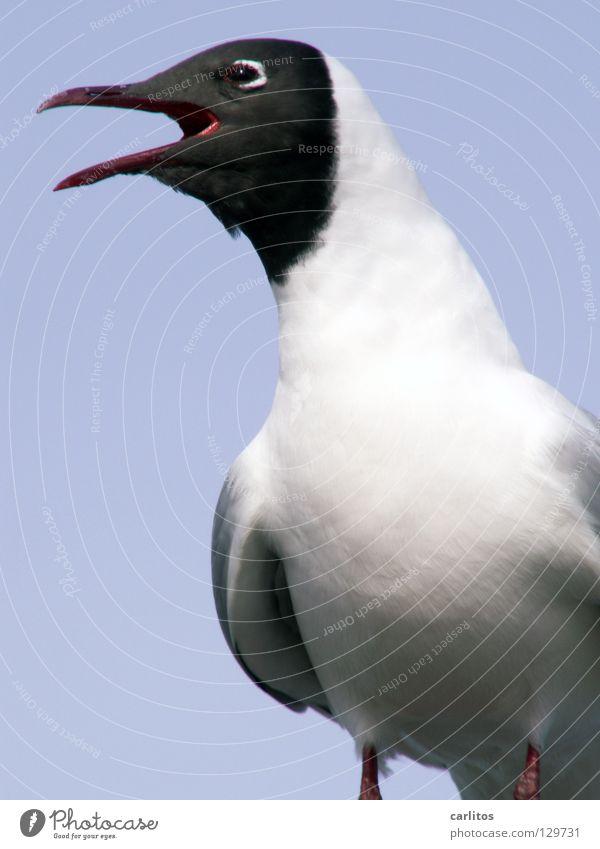 Möwencase? Ich bin dabei .... Küste Meer Vogel Schreihals Strand Schwarzkopfmöwe Larus melanocephalus Schnabel aufreissen rumschreien Kopf weg Vogelschiss