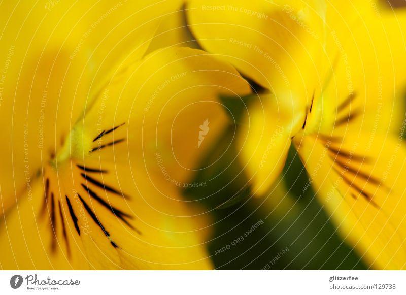 wie bei muttern Blume Pflanze Sommer gelb Frühling Wachstum Vergänglichkeit Blühend Schönes Wetter Beet gedeihen Stiefmütterchen