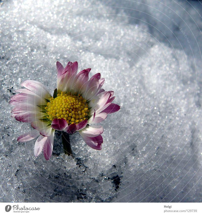 Winter im Frühling... weiß Blume grün Einsamkeit gelb kalt Schnee Gras Eis Zusammensein rosa Frost Rasen Bodenbelag