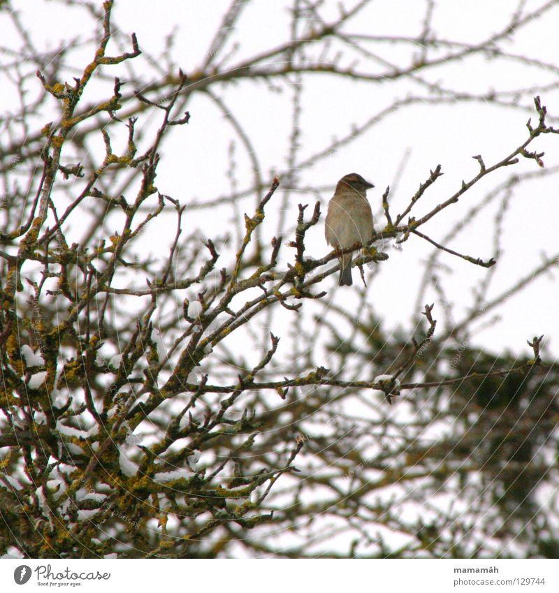Frühlingsvogel 1 Baum Winter Einsamkeit kalt Schnee Vogel sitzen Ast Gezwitscher Pfeifen