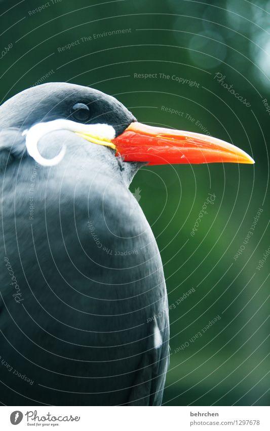 spitz Natur Tier Vogel Tiergesicht Feder inkaseeschwalbe 1 beobachten Erholung fliegen sitzen warten außergewöhnlich exotisch lustig schön orange Schnabel Auge