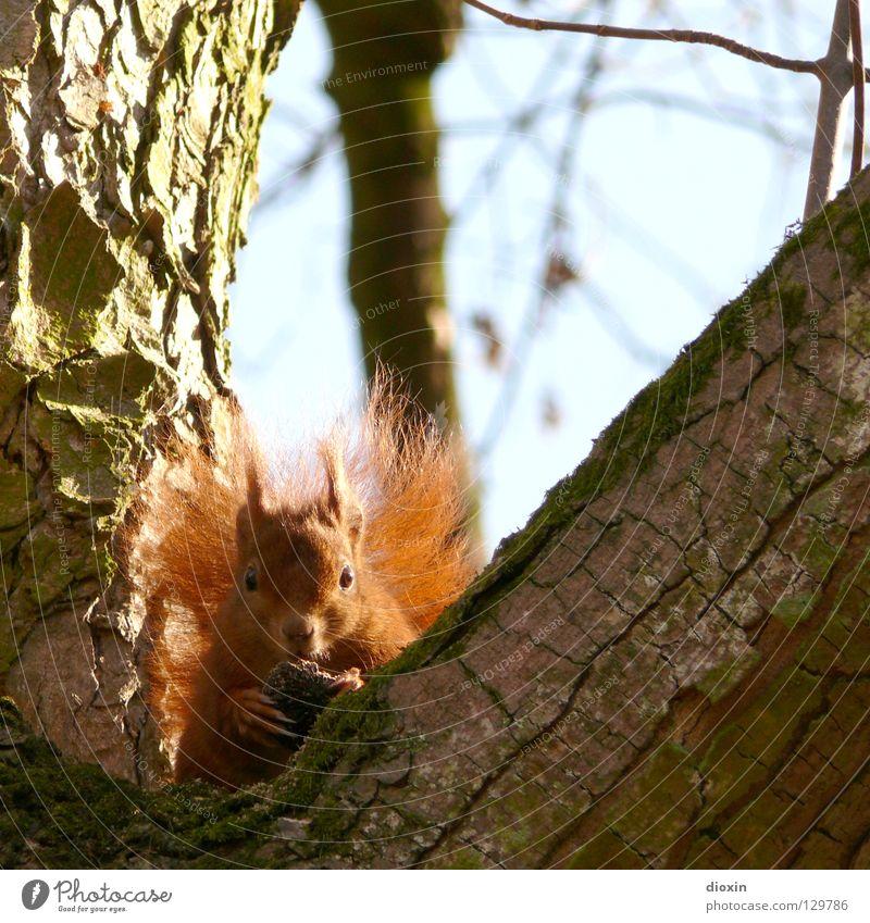 du kommst hier net rauf ! Baum Wald Ernährung Haare & Frisuren Frühling braun süß Ohr niedlich Ast Fell Horn Pfote Säugetier Fressen Schwanz
