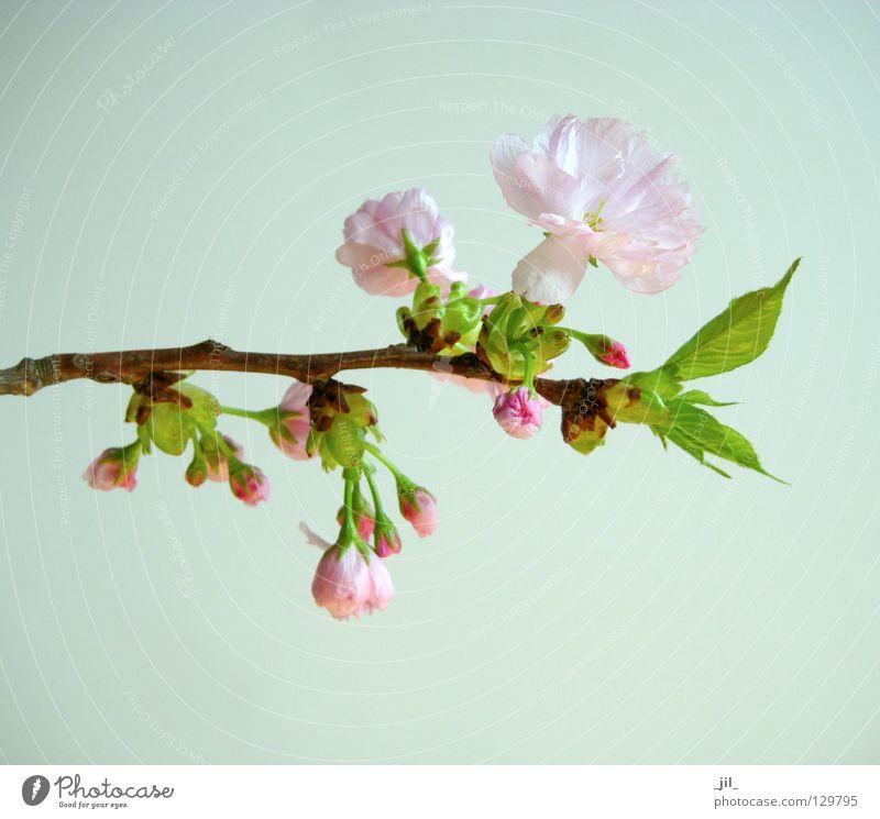 kirschblüte 2 Farbfoto Hintergrund neutral Pflanze Frühling Blume Blüte atmen Erholung ästhetisch frisch braun grün rosa schön Beginn Zufriedenheit elegant