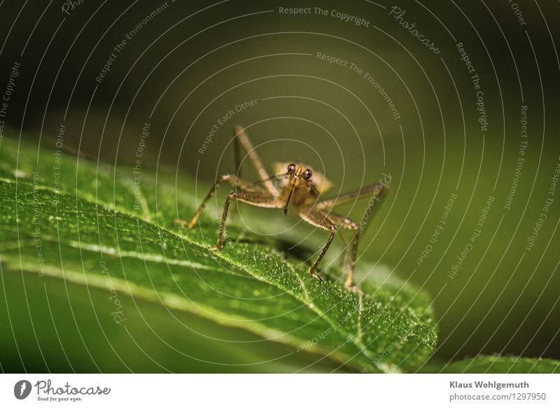 Komm näher, Umwelt Natur Tier Sommer Pflanze Blatt Graswanze 1 sitzen braun grau grün Farbfoto Außenaufnahme Nahaufnahme Detailaufnahme Makroaufnahme