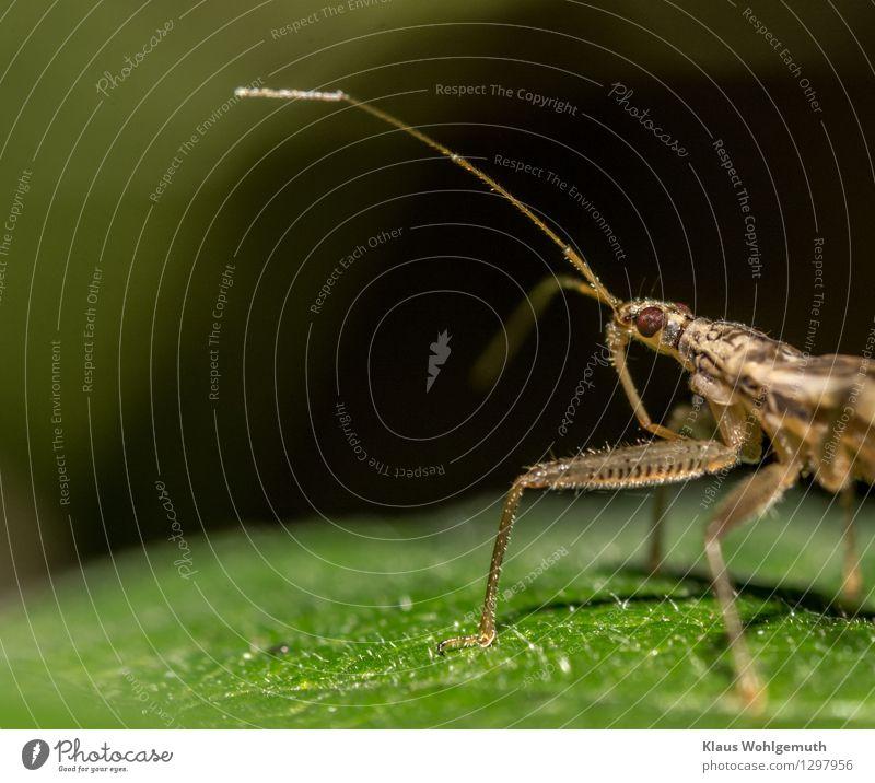 Immer der Nase nach Umwelt Tier Sommer Herbst Park Käfer Tiergesicht Graswanze 1 beobachten laufen braun schwarz Farbfoto Nahaufnahme Detailaufnahme