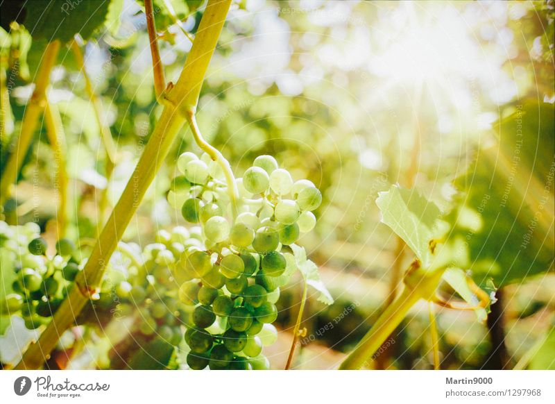 Goldener Herbst im Rebberg Wein Sonnenlicht Schönes Wetter Pflanze Wachstum gelb grün Farbfoto Außenaufnahme Textfreiraum oben Tag Abend Licht Sonnenstrahlen
