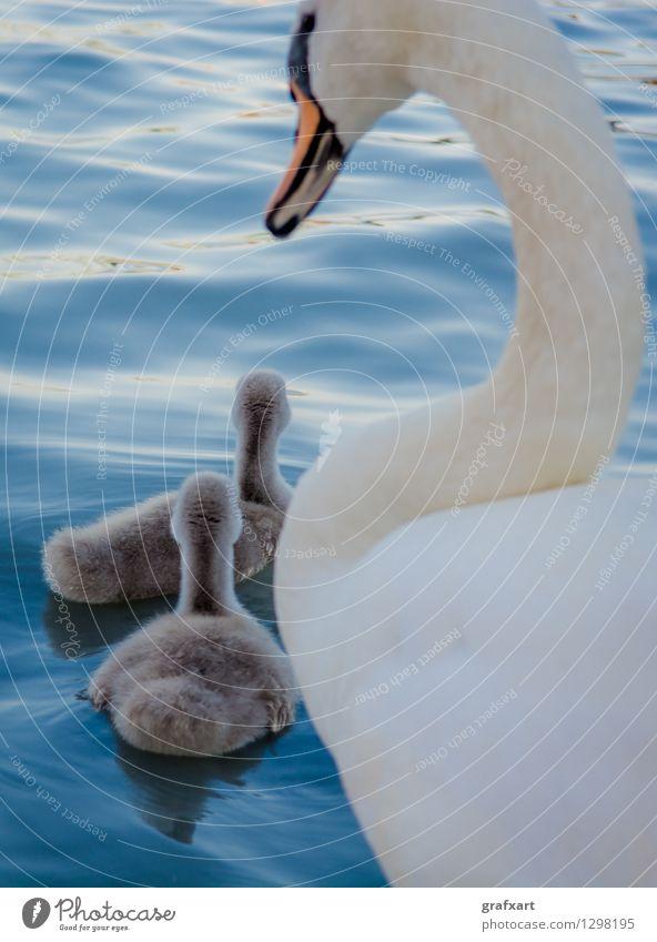 Schwan mit Jungen Tier Wasser Teich See Wildtier Vogel Küken Im Wasser treiben Zusammensein Team Eltern Mutter Vater Tierjunges friedlich Nachkommen 3