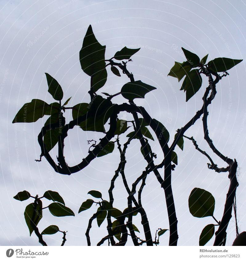 weihnachtsstern Himmel Pflanze Winter dunkel Wachstum Quadrat gießen Haushalt getrocknet Weihnachtsstern Grünpflanze Fensterbrett Zimmerpflanze Topfpflanze