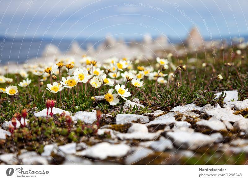 Arktischer Mohn Natur Landschaft Pflanze Sommer Klima Blume Blüte Küste Meer Blühend Wachstum einzigartig Perspektive rein Finnmark Norwegen karg Farbfoto