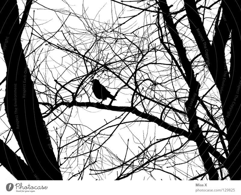 Wo ist mein Rabenvater Krähe Vogel Rabenvögel schwarz weiß Baum Ast Crow Schwarzweißfoto Zweig