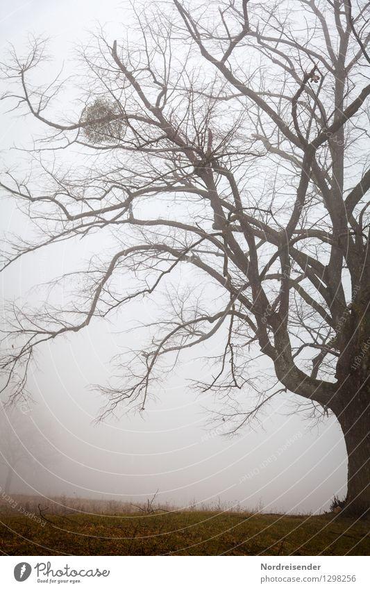 Linde Natur alt Pflanze Baum Landschaft dunkel Senior Herbst Stimmung Park Regen Nebel Kraft groß Klima Wandel & Veränderung