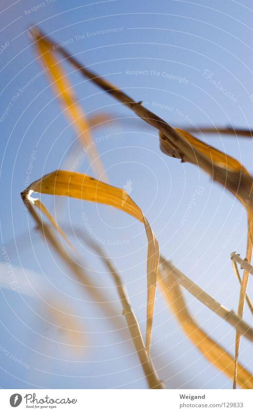 fährt der Wind darüber Himmel gelb Erholung Gras See braun Küste Suche zart berühren Konzentration Schilfrohr sanft zerbrechlich