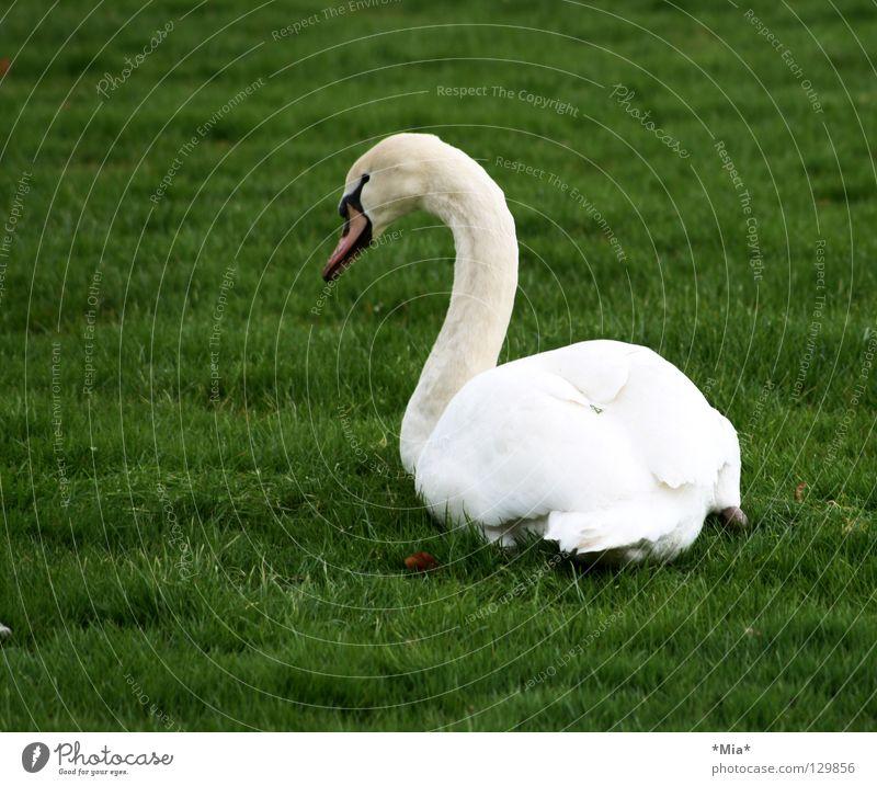 weißer Klecks auf grün Schwan Schnabel Wegsehen Gras Seite Vogel Tier Rasen Hals Feder