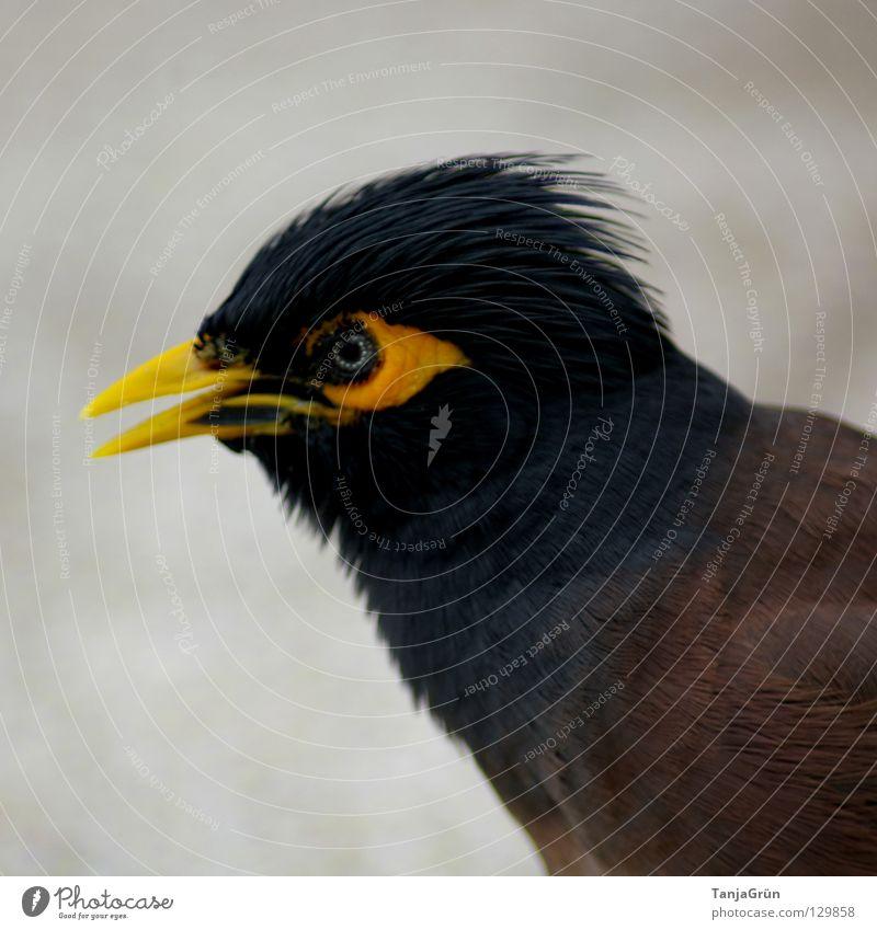 """common myrna = """"Raub""""vogel gelb schwarz braun grau Vogel Tier Dieb Schnabel Teer Thailand Koh Samui Feder Brille Haare & Frisuren Asien Makroaufnahme"""