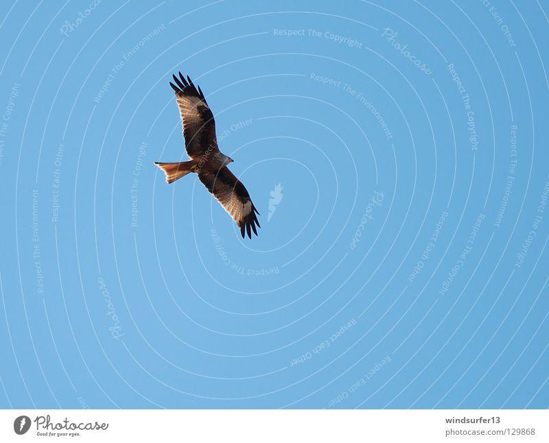 Roter Milan Himmel blau Wärme Vogel Jäger Greifvogel