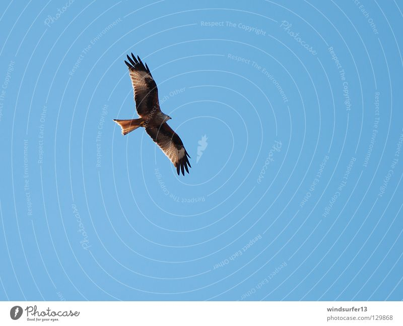Roter Milan Vogel Greifvogel Jäger Wärme Himmel blau
