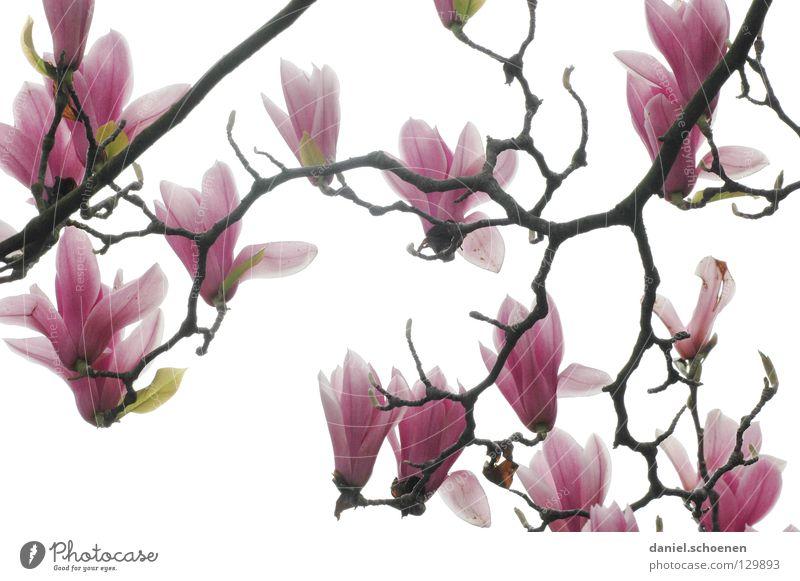 Gegenlichtmagnolie 3 weiß abstrakt Baum Magnoliengewächse Frühling Pflanze rosa rot Licht Hintergrundbild Blüte Blütenblatt schön Ast Blütenknospen