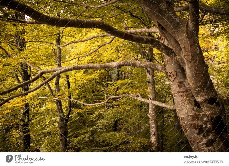 zweiter Frühling Natur Sonnenlicht Herbst Pflanze Baum Herbstlaub Herbstwald Laubbaum Baumstamm Ast Zweige u. Äste Wald Herz gelb Gefühle Lebensfreude
