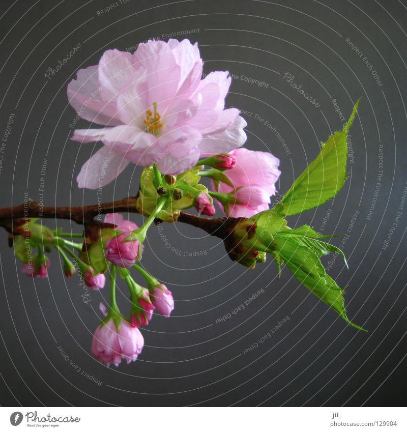 kirschblüte 3 Natur schön Blume grün Pflanze ruhig Blüte Frühling Glück grau braun rosa elegant Umwelt ästhetisch weich