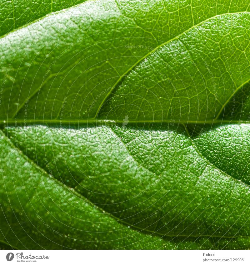 Blattcase grün frisch Natur Frühling Sommer Pflanze Photosynthese Botanik Pflanzenteile pflanzlich ökologisch Umwelt Gefäße Wachstum Synthese