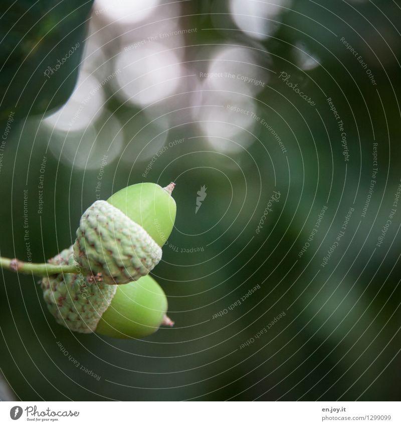 hoch und runter Natur Pflanze Herbst Baum Eicheln grün Beginn Leben Wachstum Wandel & Veränderung Frucht Samenpflanze Farbfoto Gedeckte Farben Außenaufnahme