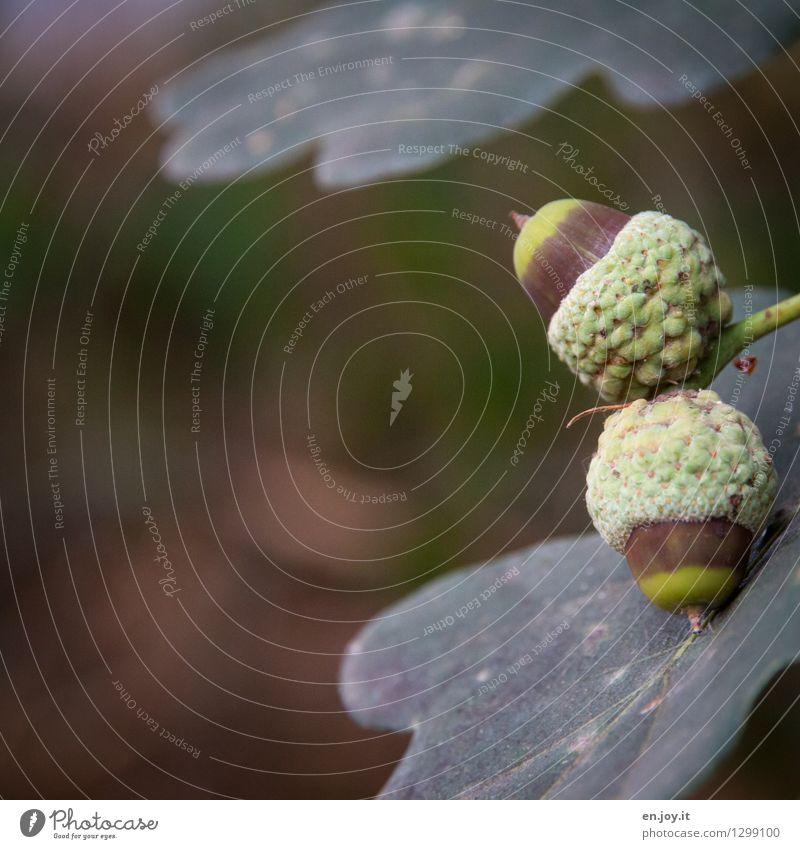 reifen Natur Pflanze Sommer Herbst Baum Blatt Eicheln Eichenblatt Frucht Samenpflanze Wachstum braun grün Beginn Wandel & Veränderung Farbfoto Gedeckte Farben