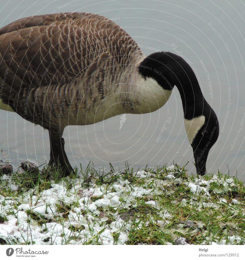 Tiefkühlkost..... Gans Wildgans Graugans Vogel Zugvogel Tier Schwimmhilfe Flaum Daunen Gänsebraten See Teich Gewässer stehen weiß braun schwarz lang dünn dick
