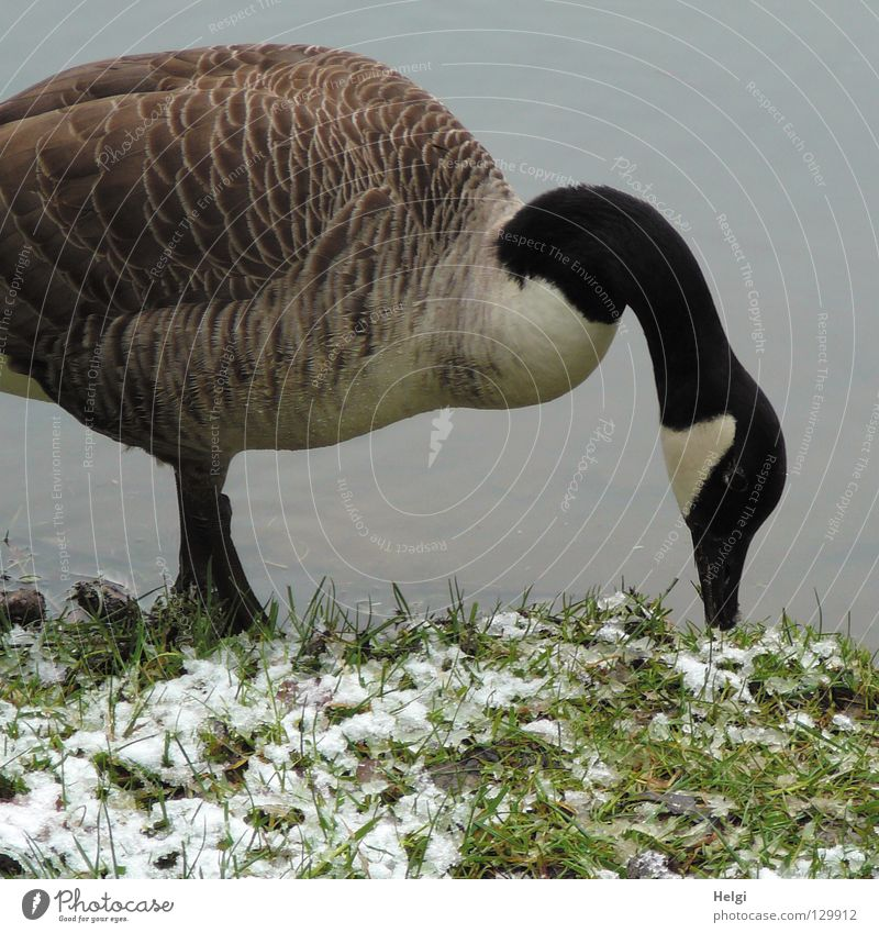 Tiefkühlkost..... Wasser weiß Tier schwarz kalt Schnee Gras Frühling See Beine Vogel Eis braun fliegen stehen Feder
