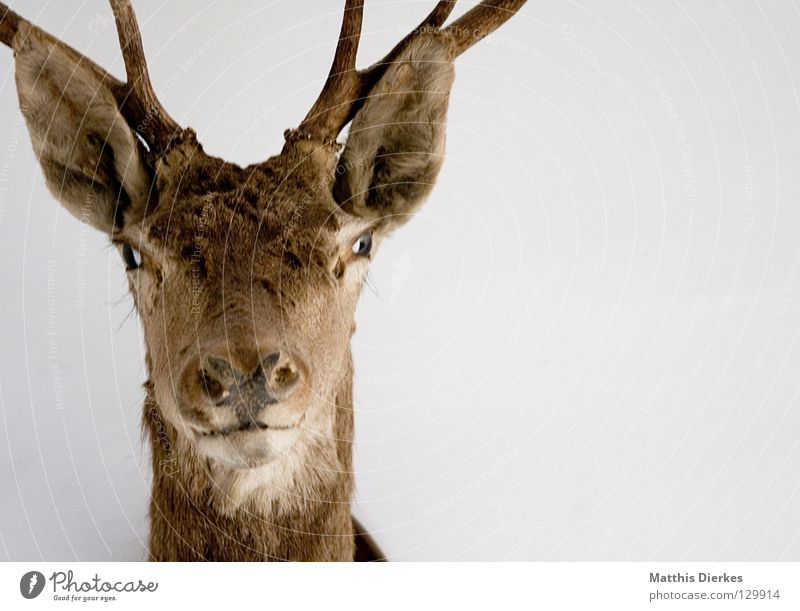 ...eiß ich Hirsche Elch Reh Tier Waldtier Horn Wimpern Augenbraue Hintergrundbild Hälfte Teilung Erinnerung Souvenir Jäger Gebiss Lebensraum obskur Dammwild Ohr