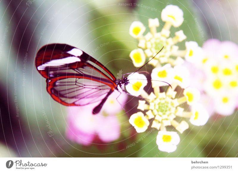 durchscheinend Natur Pflanze Tier Blume Blatt Blüte Garten Park Wiese Wildtier Schmetterling Tiergesicht Flügel glasflügelfalter 1 beobachten Blühend Duft