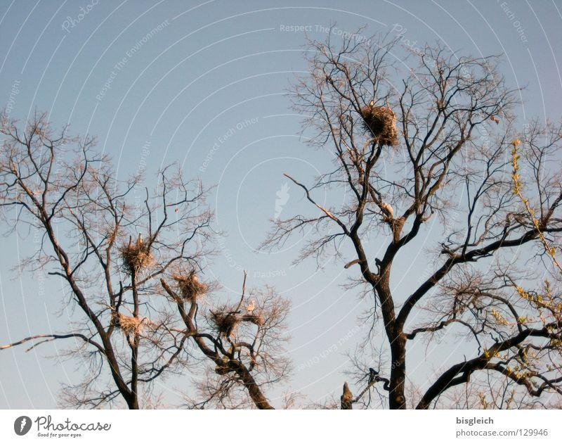 Reiher-Haus-Siedlung Farbfoto Außenaufnahme Menschenleer Himmel Baum Tier Vogel Tiergruppe ruhig Nest Graureiher tree trees birds sky Ast Zweig Tag