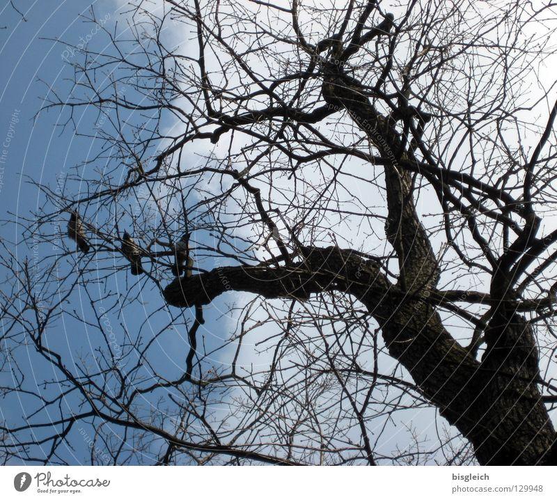 Krähen-Baum Farbfoto Außenaufnahme Menschenleer Froschperspektive Himmel Tier Vogel 3 blau Tod Zweige u. Äste Ast Sensenmann