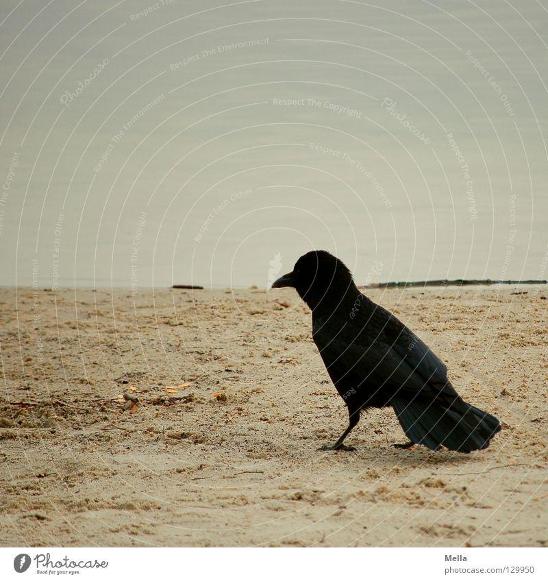 Strandläufer Sand Wasser Küste Tier Vogel Krähe 1 gehen hocken laufen sitzen stehen natürlich trist Natur Umwelt Farbfoto Gedeckte Farben Außenaufnahme