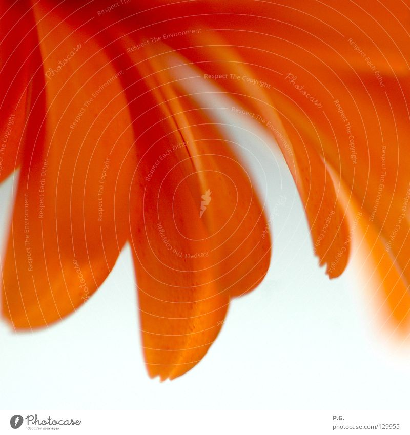 Detail einer Gerbera Blume Makroaufnahme Pflanze Blüte Detailaufnahme Macrofotografie orange