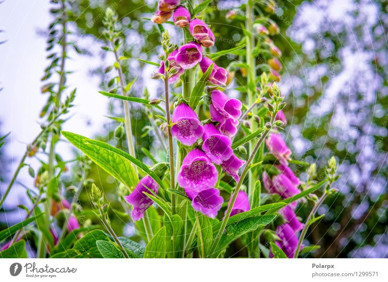 Violette Campanula Blumen Natur Pflanze grün schön Farbe Sommer Blatt Blüte Wiese Gras natürlich Garten rosa wild frisch