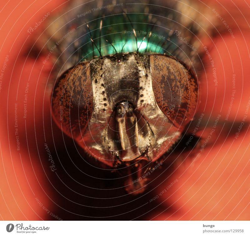 canis obtutus ales Tier Auge Fliege Insekt nah unten Wachsamkeit Intuition Facettenauge Mandibel