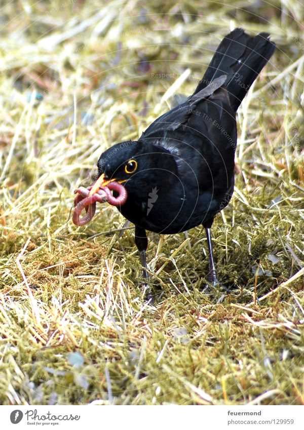 Armes Würmchen Ernährung Tier Vogel Lebensmittel Feder Futter Wurm Amsel Drossel