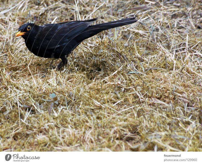 Guck nicht so Amsel Drossel Vogel Tier Futter Wurm Ernährung Feder Lebensmittel Regenwurm Schwarzdrossel
