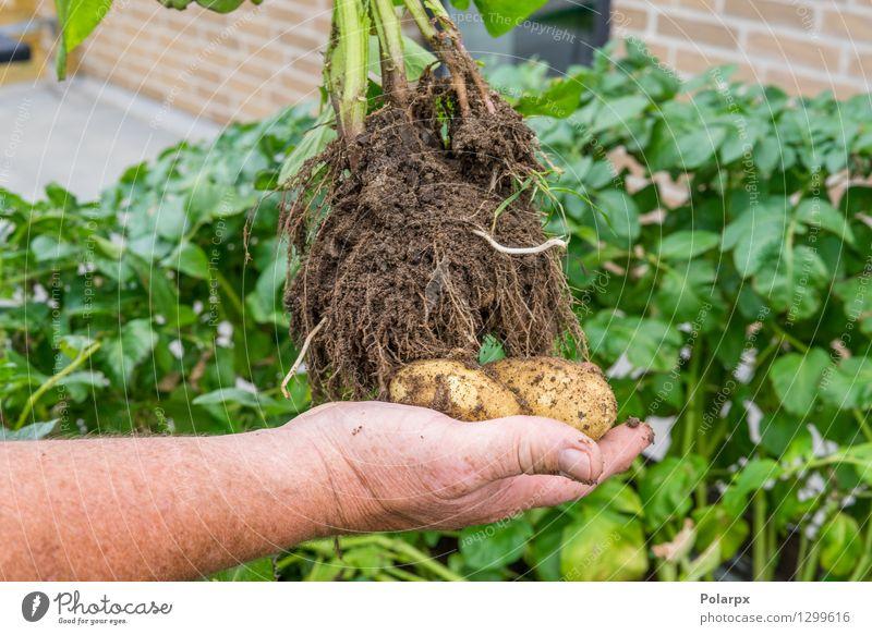 Hand, die frische Kartoffeln hält Gemüse Sommer Garten Arbeit & Erwerbstätigkeit Gartenarbeit Mann Erwachsene Umwelt Natur Pflanze Erde dreckig braun grün Chips