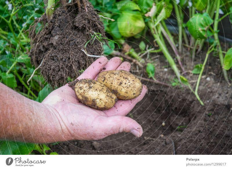 Frische Kartoffeln in einem Garten Gemüse Sommer Arbeit & Erwerbstätigkeit Gartenarbeit Mann Erwachsene Hand Umwelt Natur Pflanze Erde dreckig frisch braun grün