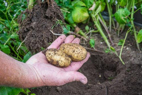 Natur Mann Pflanze grün Sommer Hand Erwachsene Umwelt Garten braun Arbeit & Erwerbstätigkeit frisch dreckig Erde Boden Jahreszeiten