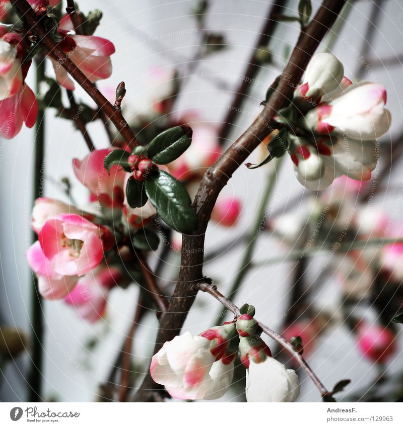 Japankirsche Blüte Blumenstrauß Frühling rosa Kirschblüten Blütenblatt Vase grau Sträucher Dekoration & Verzierung Blühend obstblüte rosa blüten Natur