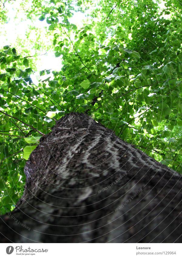 Blickwinkel Baum groß stark schön Leben Blatt grün Physik angenehm Sonnenstrahlen Verbundenheit Geborgenheit Vertrauen Reifezeit träumen ruhig Erholung