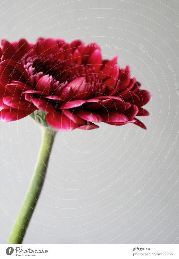 blümchen, rot Natur Pflanze grün schön Blume rot Blüte Frühling Wachstum Blühend Blütenblatt